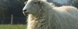 Maintain silence for the sheep: @Sally_Owl comments