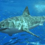Photo by Terry Goss via Wikimedia Commons: Great white shark